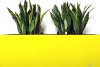 Aude plantes glossaire plantes d'intérieurs sansevieria