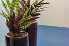 plante dépolluante Calathea