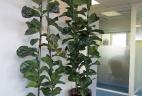 plante dépolluante Ficus lyrata