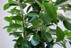 plante dépolluante Ficus moclame