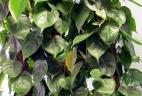 plante dépolluante Philodendron