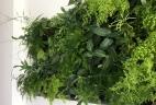 Aude plantes mur végétal