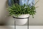 AUDE Plantes plante à poser Rhipsalis