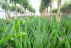 plante dépolluante Sanvieria